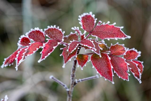 Zimna Zośka to wyjątkowo chłodny okres w połowie maja