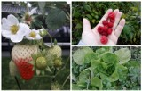 Przyroda zwariowała. Ciepły listopad - w powiecie jasielskim kwitną pomidory, rośnie sałata, maliny i truskawki owocują  [ZDJĘCIA]