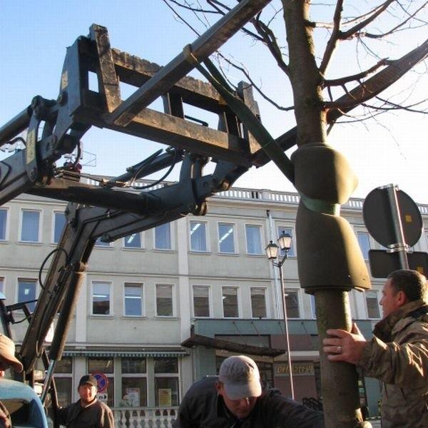 Specjalny ciągnik widłowy ostrożnie wstawiał drzewa w ich nowe miejsca.