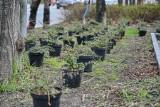 """Częstochowa. W alei NMP będzie więcej zieleni. Zadba o to firma ogrodnicza, która korzysta z programu """"Zawodowa współpraca"""""""