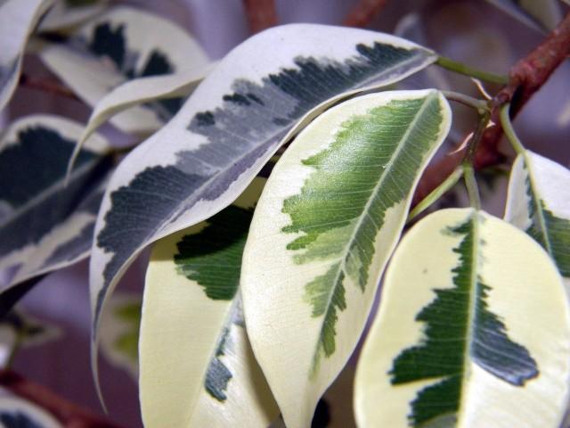 Liście benjaminkaFikus benjamina czasem zaczyna gubić liście. To znak, że jest mu źle, a przyczyn takiego stanu rzeczy może być kilka. Dzieje się tak, gdy np. roślina stoi za daleko od okna, zbyt często ją przestawiamy, ma za zimno lub za gorąco albo za mokro lub za sucho. Problem tkwić może również w tym, że nie czyścimy liści fikusa z kurzu.