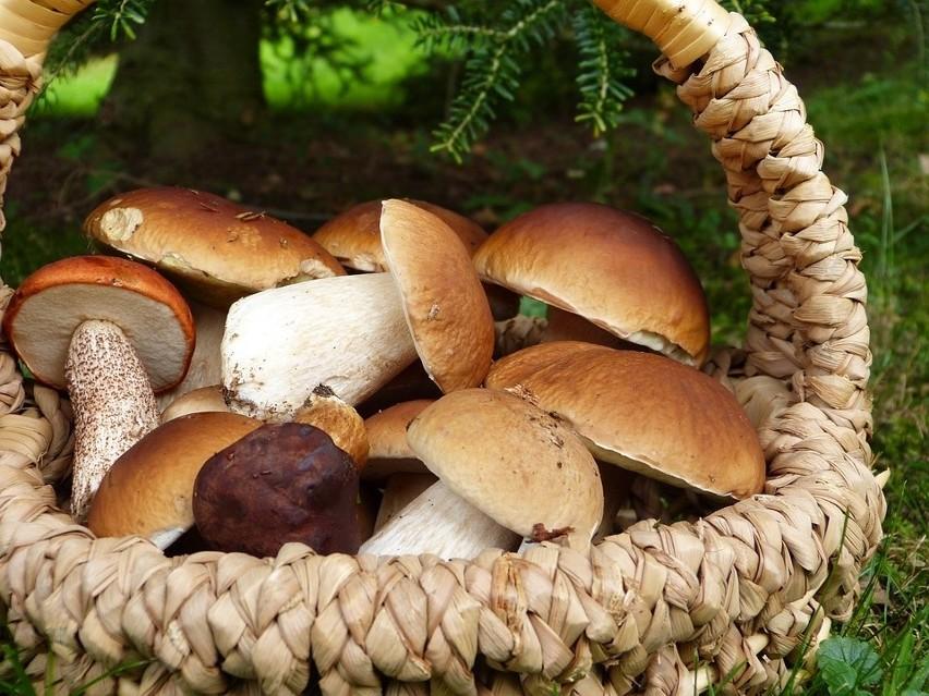 Lubuskie lasy obfitują w grzyby - to prawda stara jak świat...