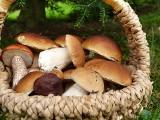 10 rzadkich, jadalnych grzybów, które możesz spotkać w lubuskich lasach