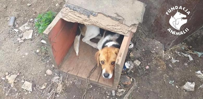 Pies miał łańcuch wrośnięty w szyję. Do 5 lat więzienia grozi właścicielom, którzy staną przed sądem