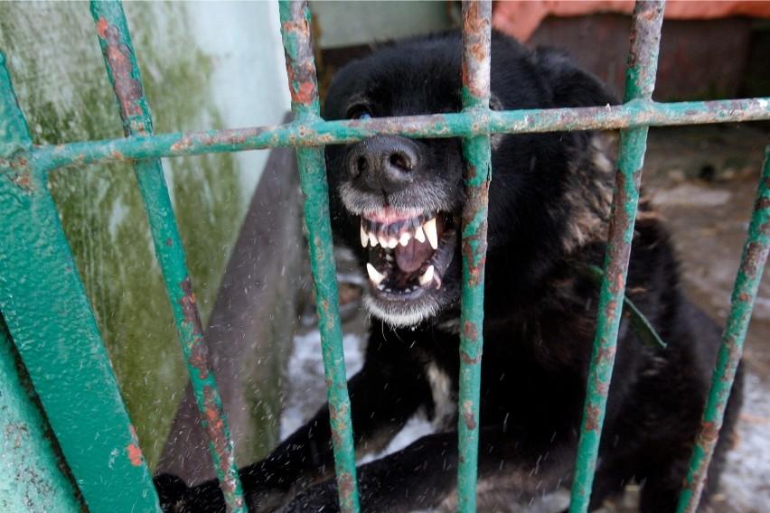 Mają zmienić się przepisy dotyczące pilnowania psów, przede wszystkim tych najgroźniejszych. Ich właścielom, za brak nadzoru, mogą grozić poważne konsekwencje