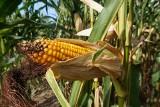 Kukurydza ze wschodu rujnuje gospodarstwa. Zakaz importu? Nie wchodzi w grę [ceny kukurydzy]