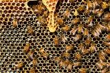 Zgnilec atakuje pszczoły. Pszczoły w Łódzkiem są zagrożone. Tuż za granicą województwa zaatakował zgnilec amerykański