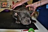 Pseudohodowla psów koło Zduńskiej Woli. 21 psów uratowali wolontariusze SOS Bokserom. Uwaga! Drastyczne zdjęcia zaniedbanych psów 2.08.2020