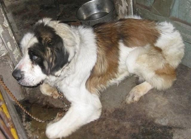 Zgłoszenie o znęcaniu się nad bernardynem przyszło od mieszkańców, którzy nie mogli patrzeć na cierpiącego psa.