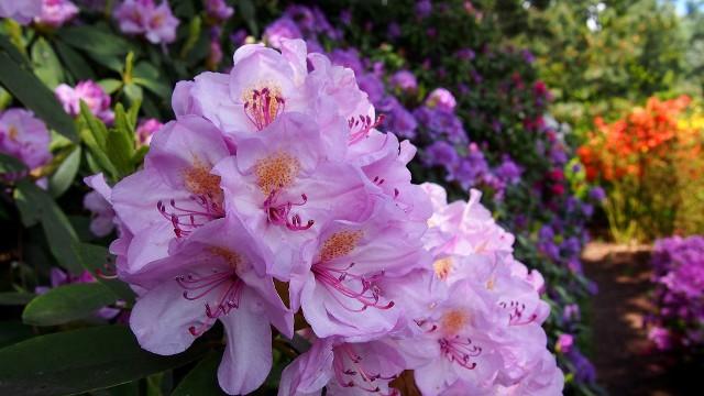 Rododendrony wyglądają dobrze we własnym towarzystwie, ale jest znacznie więcej roślin, które można z nimi sadzić.