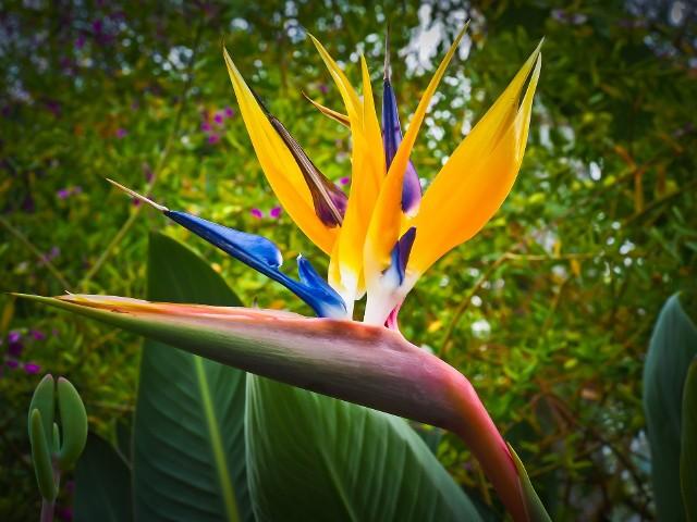 Strelicja, czyli rajski ptak ma intensywnie pomarańczowe płatki i fioletowe słupki. Wyrastają one z szaro-zielonej łodygi, która jest czerwonawej u nasady. Kwiat ten pochodzi z Południowej Afryki i bez wątpienia jedną z najbardziej oryginalnych roślin doniczkowych.