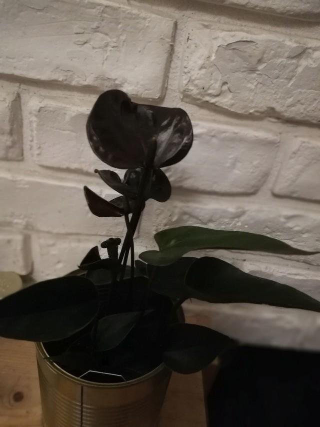 Anturium w odmianie Giant Chocolate ma pięknie błyszczące kwiaty.
