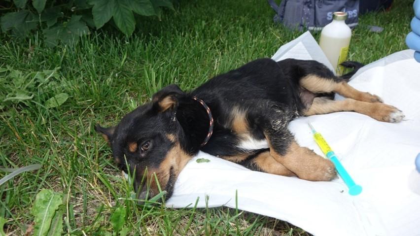 Pies z odgryzionym fragmentem szczęki, martwy szczeniak,...
