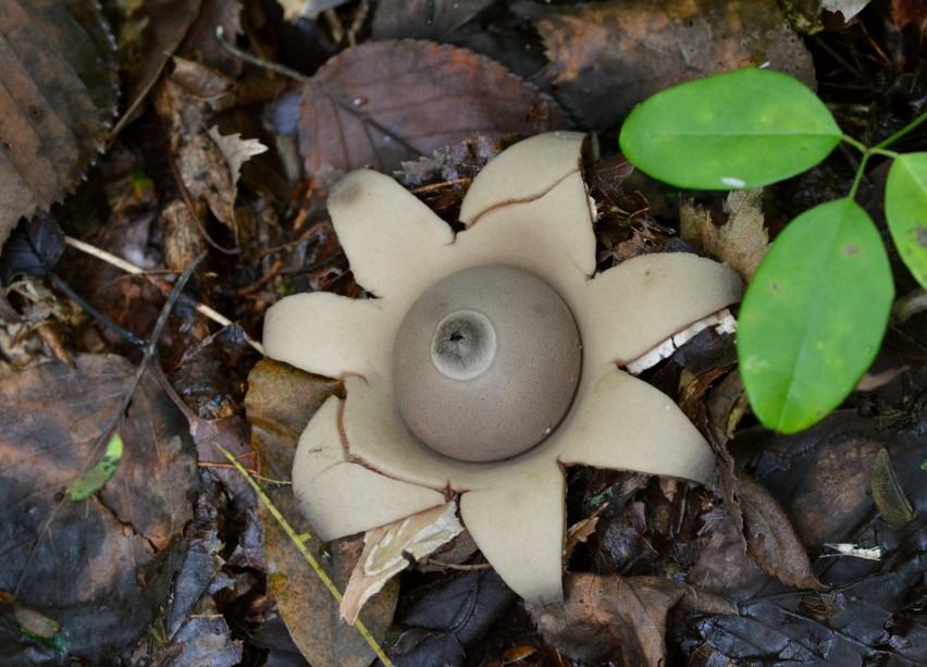 Spotkać tego grzyba w polskim lesie to jak trafić na igłę w...