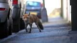 Pogoń za lisem w Łapach. Kto go widział a kto nie! Teraz trwa obława na zwierzę. Zostaną ustawione w mieście żywołapki