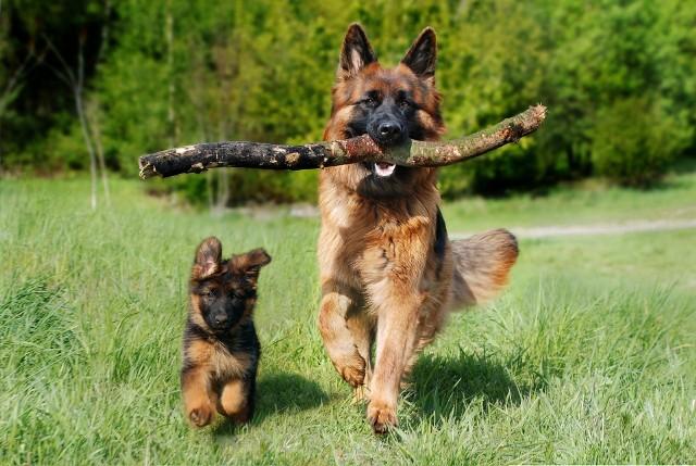 Najmądrzejsze rasy psów. Te pieski są naprawdę inteligentne! Wystarczy 5 prób, aby zapamiętały i nauczyły się nowej komendy! [ZDJĘCIA]