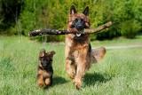 Te rasy psów są najmądrzejsze. Chcesz nauczyć psa sztuczek i komend? Wybierz którąś z tych ras! [17.05.2021]