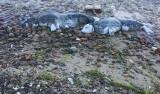 Co dalej ze śledztwem w sprawie martwych fok nad Bałtykiem? Biuro detektywistyczne przekazało swoje ustalenia w tej sprawie prokuraturze