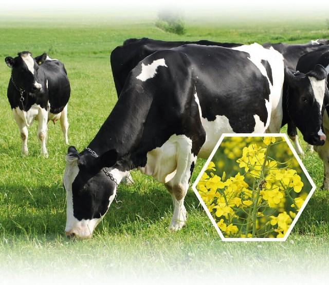 """Warunkiem uczestnictwa w konferencji pt. """"Śruta rzepakowa jako realna alternatywa dla importu śruty sojowej. Możliwości zwiększenia pasz rzepakowych w żywieniu bydła mlecznego"""" jest dokonanie rejestracji do 15 października 2021 r."""