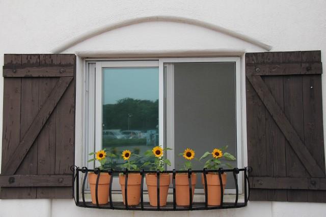 Słonecznik w doniczkachOdmiany ozdobne słonecznika mają wiele ciekawych form, różniących się wielkością, barwami oraz budową kwiatów.