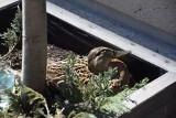 Kaczka z centrum Gorzowa uratowana! Wysiaduje już jajka nad Wartą