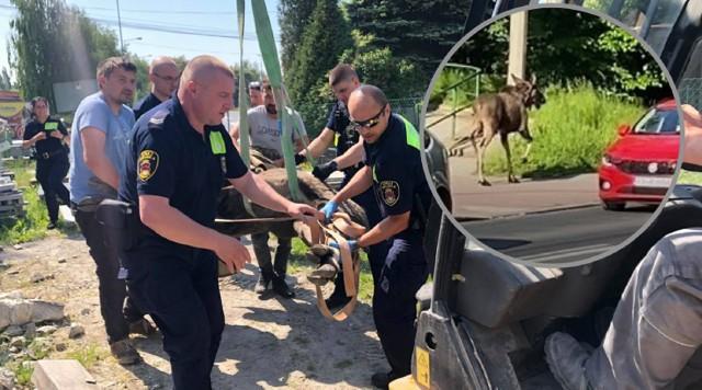 Łoś biegał we wtorek, 8 czerwca, po krakowskich ulicach. Zwierzę zostało złapane przez Straż Miejską
