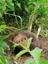 W okolicach Narola leśnicy uwolnili bobra, który wpadł we wnyki. Akcja ratownicza nie była łatwa