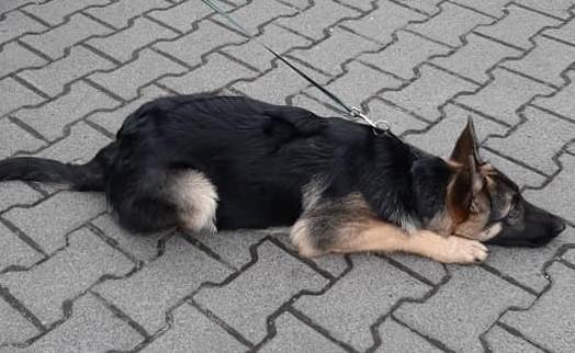 Poznańska straż miejska poinformowała o młodym psie, który bez opieki przebywał w pobliżu wybiegu dla psów w parku na osiedlu Bolesława Chrobrego.