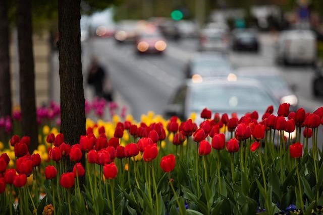 Tysiące tulipanów zakwitło w Bielsku-Białej.Zobacz kolejne zdjęcia. Przesuwaj zdjęcia w prawo - naciśnij strzałkę lub przycisk NASTĘPNE