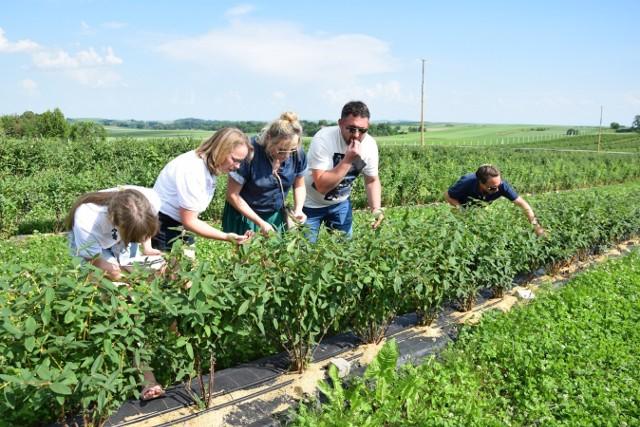 Na plantacji jagód kamczackich w Muniakowicach jest pełnia sezonu. Owoce te pojawiają się bardzo wcześnie w maju i czerwcu. W Polsce są mało znane, więc zaczęto je intensywnie promować