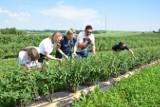 Z wizytą na kamczackiej plantacji w gminie Słomniki. Jak smakują jagody wiecznej młodości