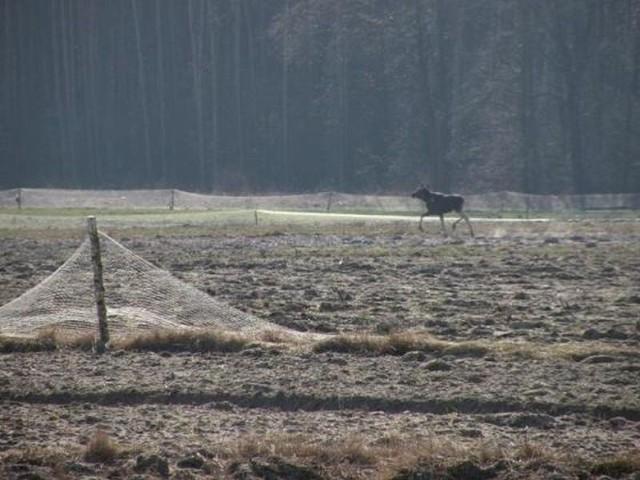 W lasach Nadleśnictwa Ostrołęka żyje około 60 łosi. Nie można na nie obecnie polować