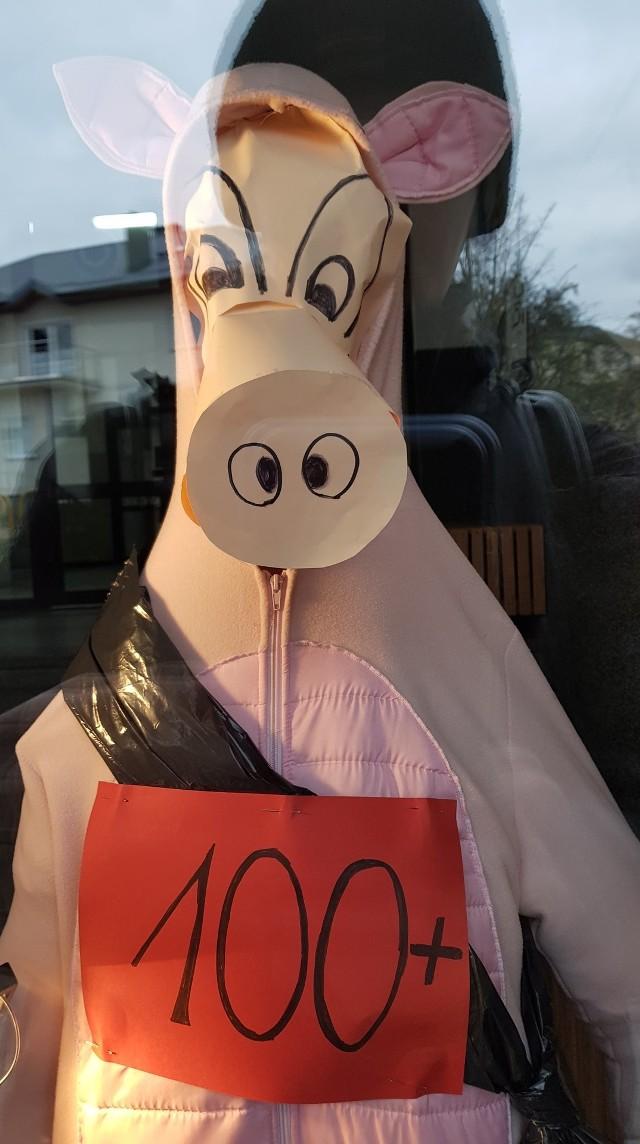 W słupskiej SP11 przy ulicy Lotha w ramach protestu nauczycieli wystawione zostały manekiny przedstawiające krowę oraz prosię. To nawiązanie do propozycji rządu mającej na celu finansowe wsparcie dla hodowców trzody. 6 kwietnia podczas konwencji PiS prezes Jarosław Kaczyński zapowiedział pomoc w wysokości przynajmniej 500 zł do krów i 100 zł do tuczników.