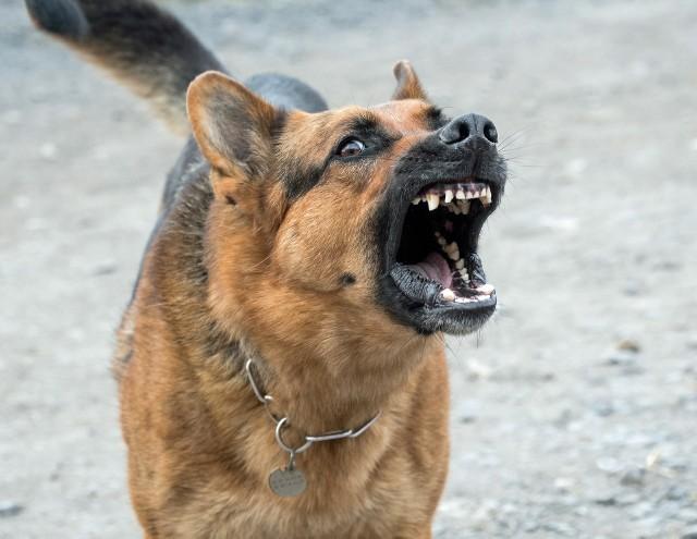 Jak udało się ustalić policji, pies prawdopodobnie jest bezpański. Mundurowi prowadzą poszukiwania zwierzęcia / Zdjęcie ilustracyjne