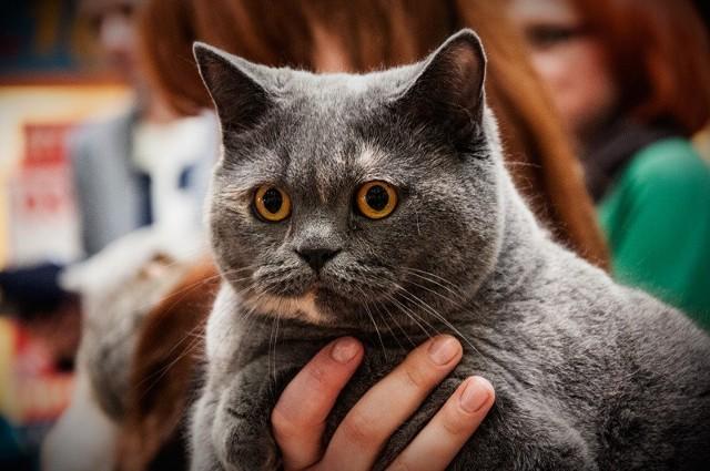 Szykuje się święto dla miłośników kotów.