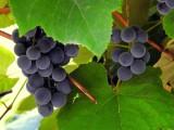 Wyrabiasz wino? KOWR do połowy stycznia 2021 roku czeka na deklarację