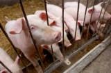 Z Otynia wyjdą skargi w sprawie zabijania zdrowych świń. W ostatnim czasie pustoszeją drobne stada hodowane przez rolników