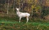 Ale to było spotkanie! Nasz Czytelnik nagrał białego daniela, który spacerował przy jednej z tras w regionie. Zobaczcie to piękne zwierzę
