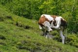 Krowy dają mniej mleka, drób się gorzej niesie. Zwierzęta mogą nawet padać! Przez meszki