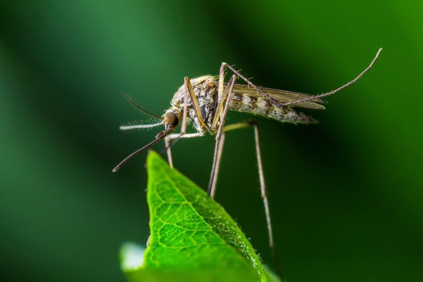 Tych owadów kiedyś u nas nie było, dziś przeżywamy ich plagę. Czy nam zagrażają?
