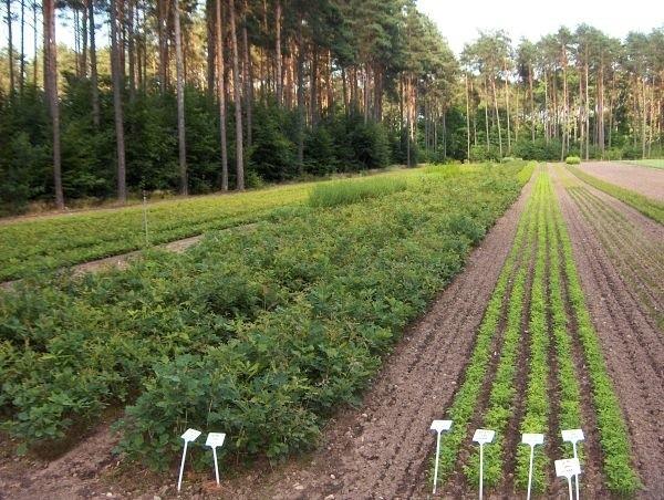Las Barlinka liczy już 6,5 miliona drzewek