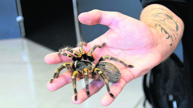 Jeśli już odważymy się wziąć pająka do ręki, to on zwykle ani myśli, by nas atakować