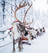 Możesz zostać św. Mikołajem w Rovaniemi w Laponii. Finowie szukają u nas pracowników (STAWKI, WARUNKI)