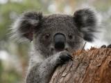 Australia, adoptuj koalę: Co zrobić, by adoptować zwierzaka. Cieszanów Rock Festiwal adoptował koalę Hockey Luna [POŻARY W AUSTRALII]