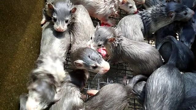 Na Pomorzu wykryto norki hodowlane zakażone koronawirusem! To pierwszy taki przypadek w naszym kraju