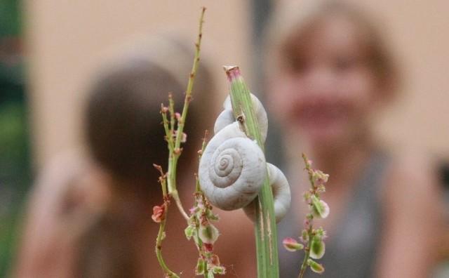 Ślimaki obsiadły ogrodzenie i rośliny wokół placu zabaw na osiedlu wojskowym. Zdaniem fachowców, nie stanowią zagrożenia dla ludzi