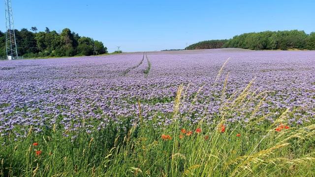 Przepiękne pola facelii w powiecie świebodzińskim. Fiolet rozciąga się aż po horyzont.