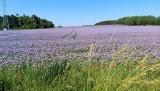Fiolet rozciąga się aż po horyzont! Tak kwitnie teraz facelia w Lubuskiem. Mieliście okazję widzieć to na żywo? Nie? To łapcie garść zdjęć