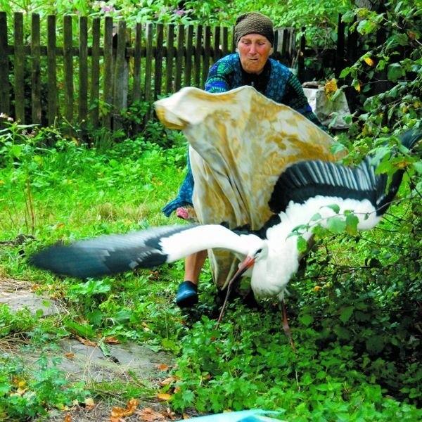 We wsi Stawiszcze koło Czeremchy w gospodarstwie pani Janiny Golijewskiej od miesiąca przebywał bocian z uszkodzonym skrzydłem