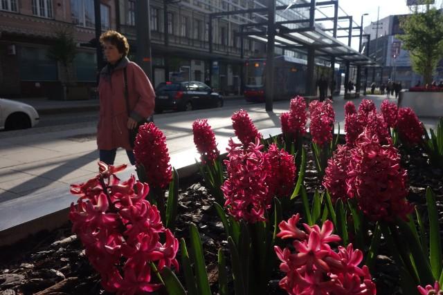 W Katowicach zakwitły kwiaty. W wielu miejscach kwietniki wyglądają naprawdę imponująco